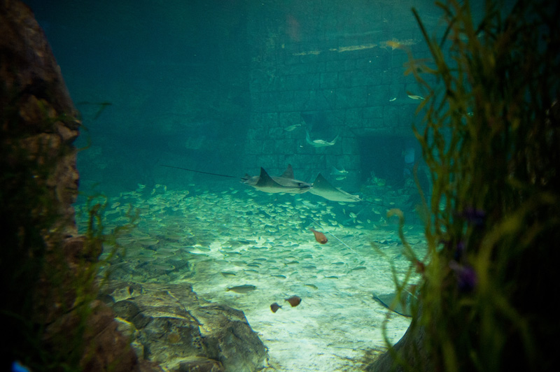 Sea World, Orlando, Florida, Theme Park, Aquarium, Tank, Rays, Manta, Fish, Guitar fish, underwater,