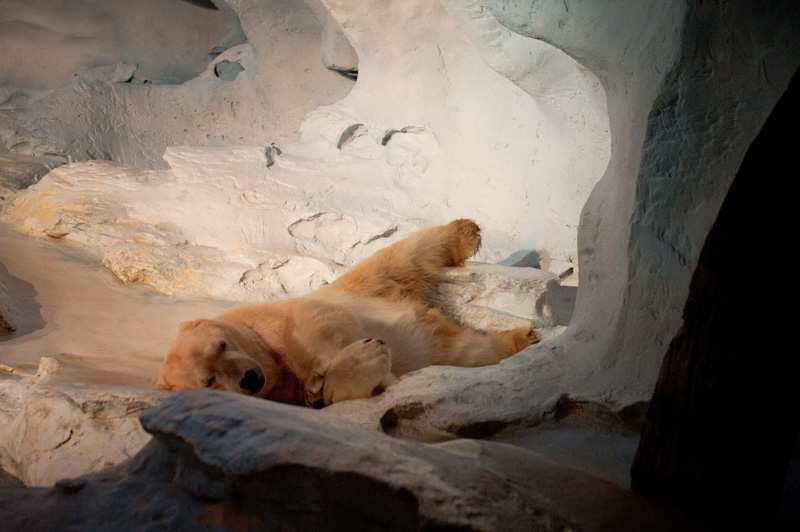 Sea World, Orlando, Florida, Theme Park, Aquarium, Tank, Polar Bear, Wild Arctic, Sleepy, Lazy, Asleep, Snow