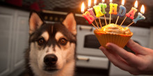 Nico, Siberian Husky, Husky, Puppy, 1st Birthday, Dog, Black & White, Growing Up, Cake, Birthday, Candles, FAIIINT, 1 Year Old