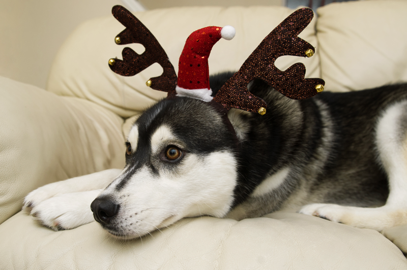 FAIIINT black & white Siberian Husky Nico dressed up for Christmas in Claire's Accessories sequined antlers & santa hat