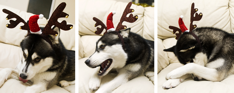 FAIIINT black & white Siberian Husky Nico dressed up for Christmas in sequined antlers & santa hat, silly, funny faces, ashamed, laughing, sticking tongue out.