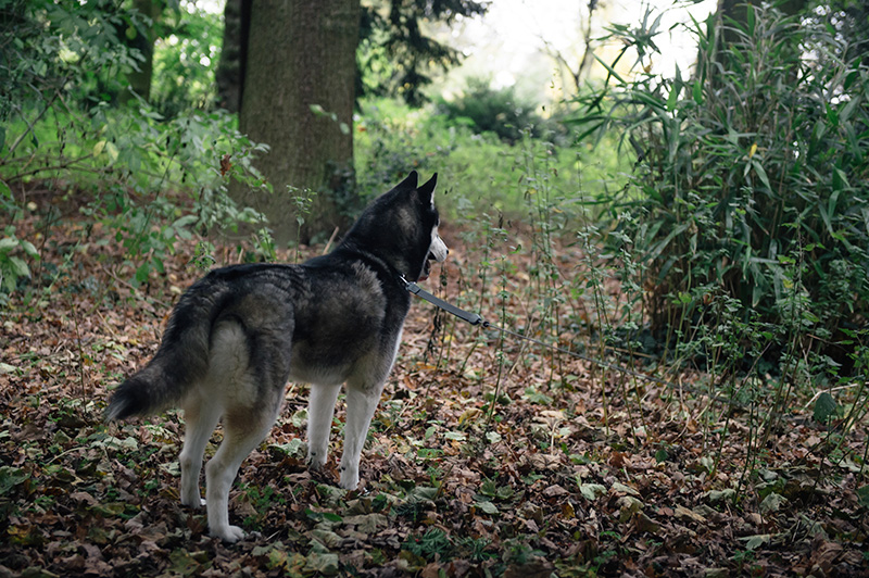 FAIIINT Autumn dog walk through the park and forest with Nico siberian husky. Fallen leaves everywhere, beautiful nature.