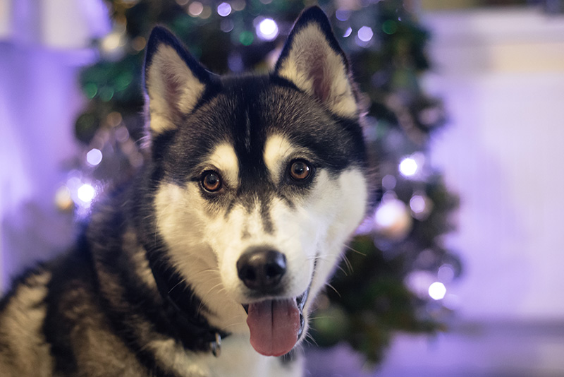FAIIINT Christmas Tree Nico Siberian Husky