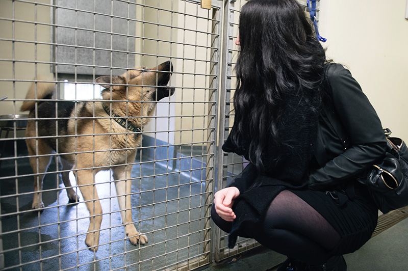 RSPCA Woodside Animal Centre Leicester. German Shepherd Siberian Husky cross breed dog black & tan talking barking at girl.