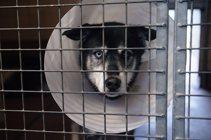 RSPCA Woodside Animal Centre Leicester. Siberian Husky Collie cross breed black & white with cone sad eyes.