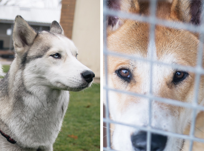 RSPCA Woodside Animal Centre Leicester. Grey Siberian Husky & Tan Akita cross breed with sad eyes.