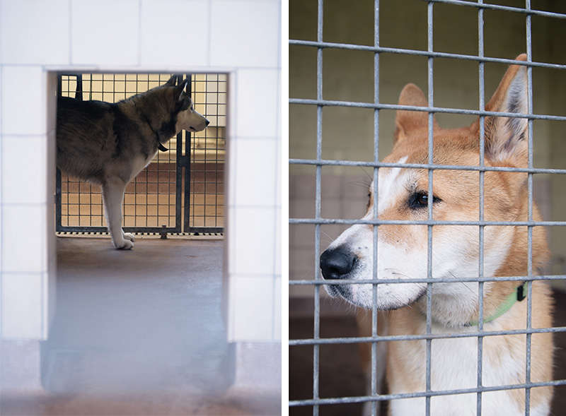 RSPCA Woodside Animal Centre Leicester. Siberian Husky dog looking out at people & tan and white Akita cross breed looking for new owner.