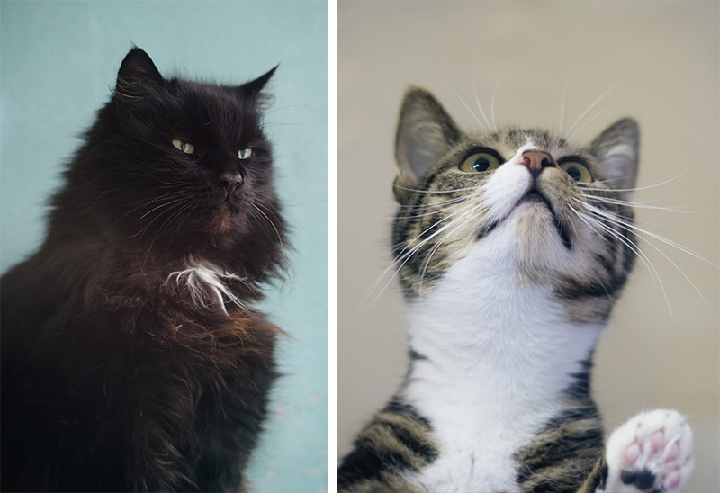 RSPCA Woodside Animal Centre Leicester. Black fluffy cat looking regal & cheeky tabby cat kitten.