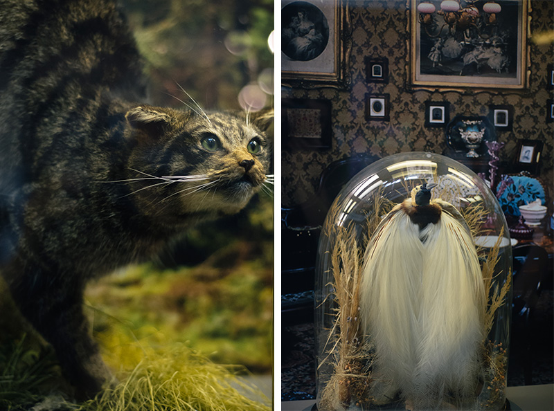 FAIIINT York weekend break. Yorkshire Museum Scottish Wildcat & Bird of Paradise taxidermy displays.