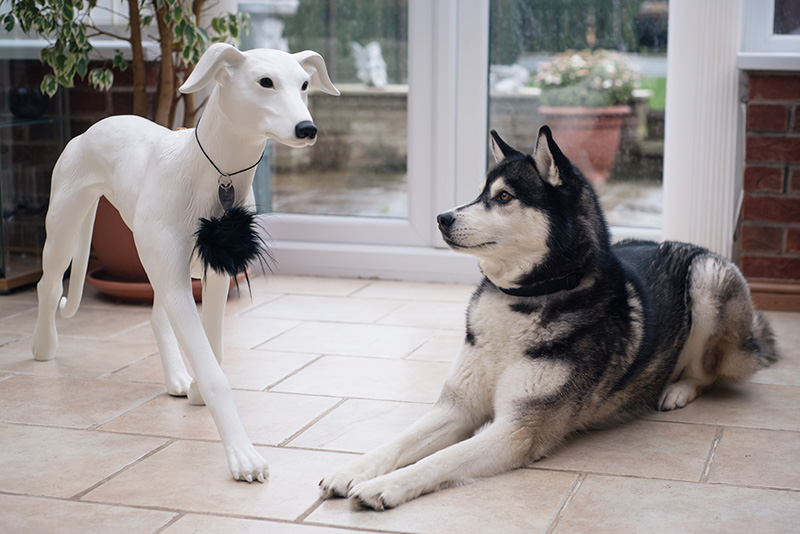 FAIIINT Siberian Husky Nico with River Island and Dogs Trust whippet Dog-equin dog mannequin.