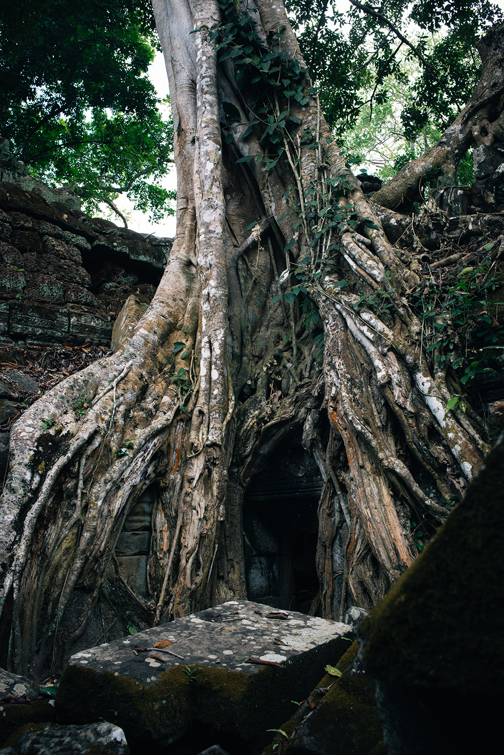 Ta Prohm temple Siem Reap Angkor Cambodia. Crumbling ruins with huge tree.