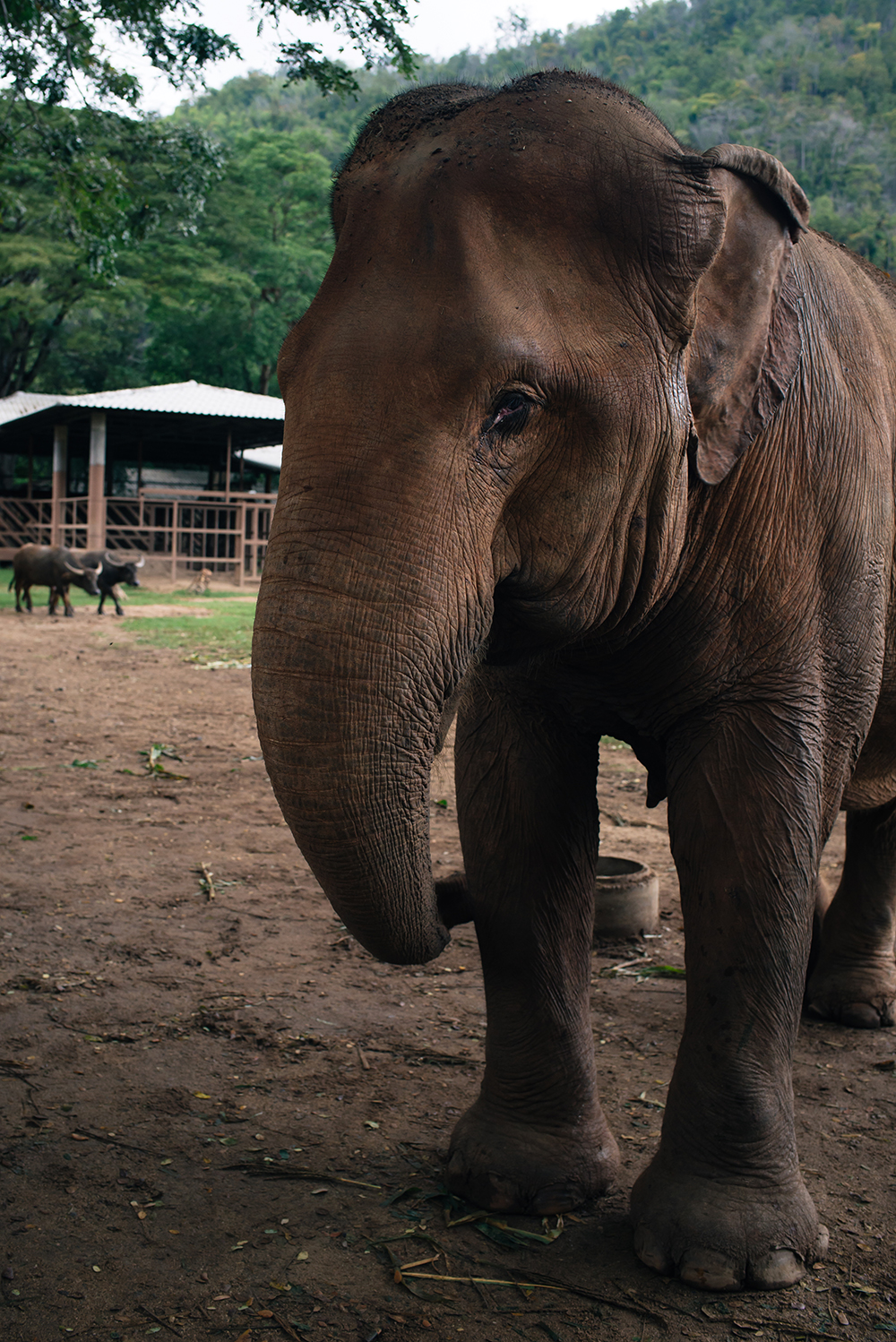 Elephant Nature Park rescue and sanctuary Chiang Mai Thailand.
