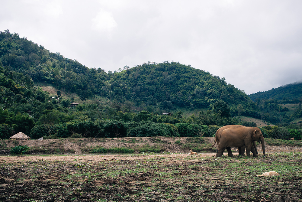 Elephants walking at Elephant Nature Park rescue and sanctuary Chiang Mai Thailand.