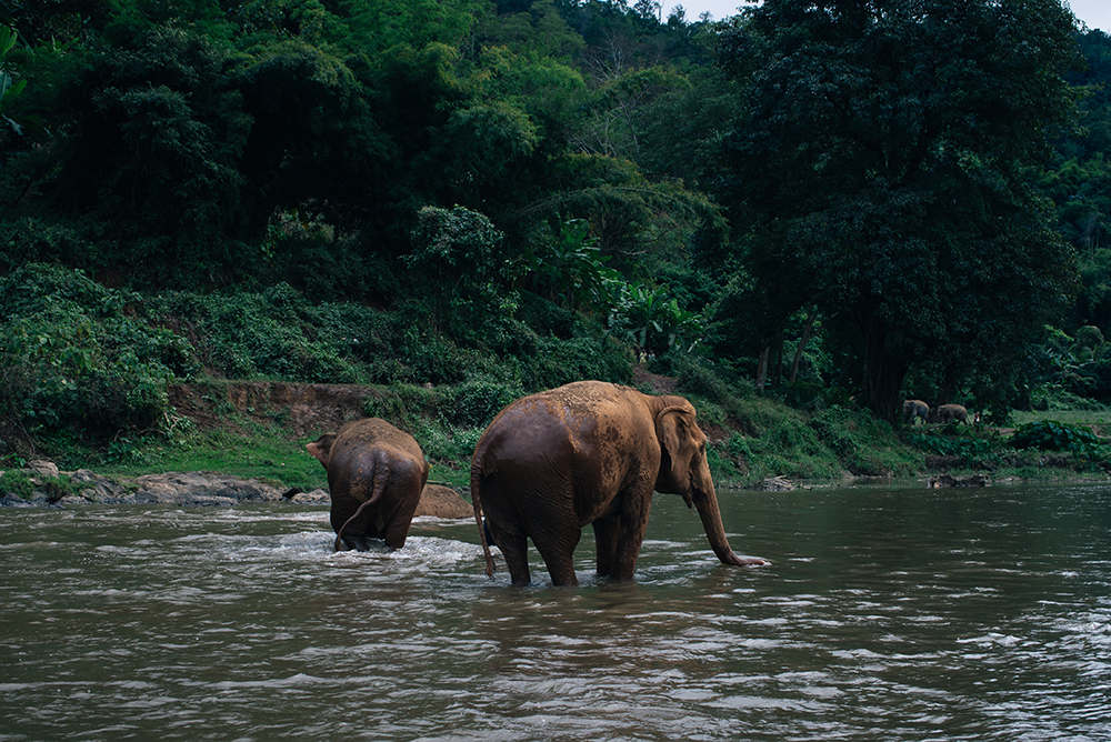 Elephants in river at Elephant Nature Park rescue and sanctuary Chiang Mai Thailand.