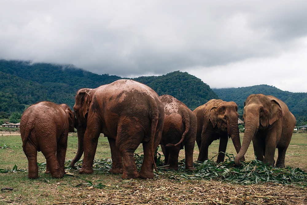 Elephant family at Elephant Nature Park rescue and sanctuary Chiang Mai Thailand.