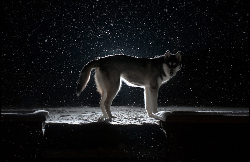 Nico, FAIIINT, Siberian Husky, Husky, Puppy, Dog, Wolf, Snow, Snowing, Dark, Night, Black & White
